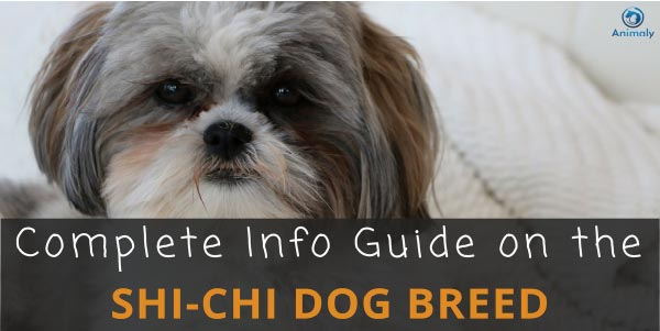 Shih Tzu Chihuahua Mix Shichi Everything You Need To Know